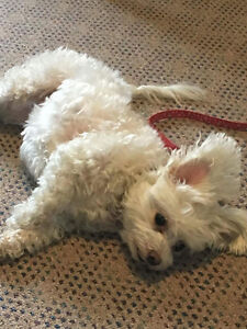 Looking for good home for 9yr old Malti-poo