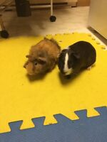 7 month old male Guinea pigs