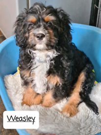 Last one ! F1 Cavapoo puppy ready now