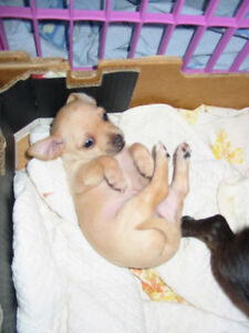 CHIHUAHUA PUPPIES First Shots Health Record Dewormed Peterborough Peterborough Area image 6