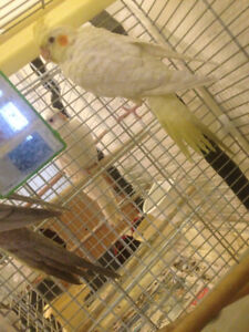 Young Cockatiels and Parents   For sale with cage