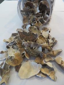 Turkey Tail Mushroom / Trametes Versicolor  Champignon Medicinal