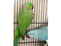 Bonded Pair of Indian Ringnecks and Cage, Talking!