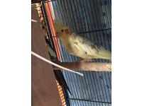 Budgies ,cockateils ,javas ,canary