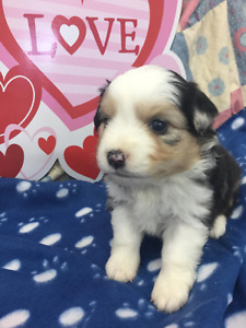 Adorable Mini Aussie Blue Merle and Red Tri puppies available