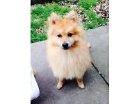 Beautiful Female Pomeranian Pup