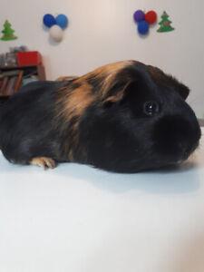 Cochon d'inde recherche nouvelle famille (Coco) !