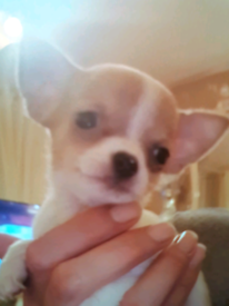 2 LEFT!! Absolutly true type tiny chihuahua puppies