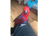 Eclectus female 14 month parrot inc cage n toys