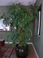 9 1/2' Umbrella Plant