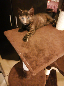 Cats For Sale In Lewisham London Gumtree
