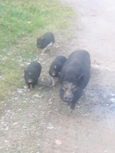 For Sale or Trade Potbelly  piglets and Mother