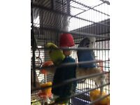 Budgies&cage