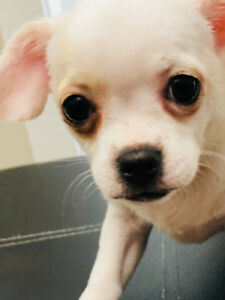 Chihuahua/Poodle Cross Puppies