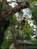 Tree removal and pruning service 647 654-1884