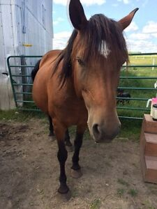 Canadian x mare for sale