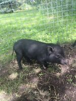 Miniature pot belly pig for sale