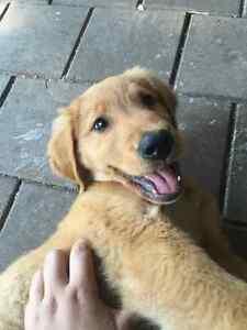 3 month old golden retriever