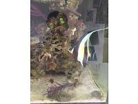 Moorish idol marine reef fish aquarium tanks