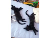 2 kittens for sale