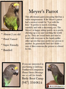 """2 yr old Male Meyers Parrot """"Poncho"""""""