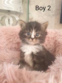 7 beautiful kittens 2 sold