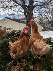 2 hens for rehoming