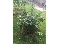 Free!! Two blackcurrants bushes