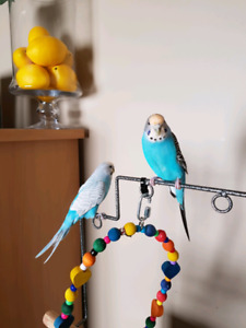 Pair of trained Budgies