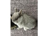 Pure bred Netherland dwarf baby grey female
