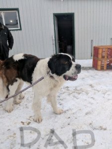 St Bernard Puppy | Kijiji - Buy, Sell & Save with Canada's