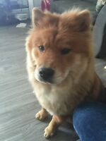 Adorable chow chow looking for a new home