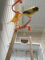 Couple Canary avec cages 120$