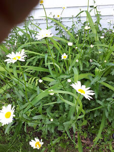 Perennials - Shasta Daisy and Common Daylily