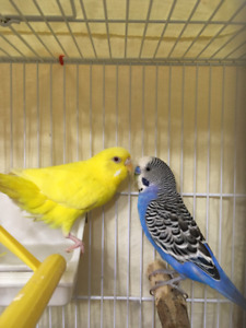 Proven pair of budgies