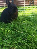 black bunny, to loving home