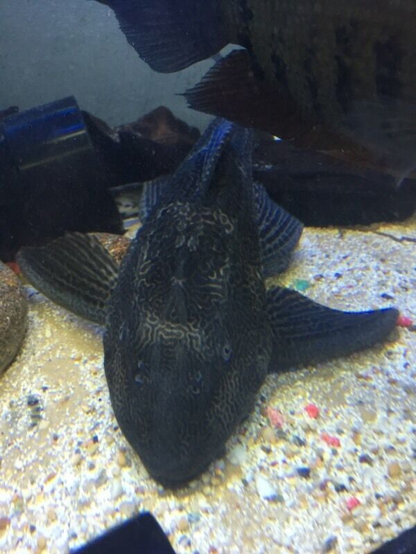 Large pleco 30 in barnet london gumtree for Pleco fish for sale