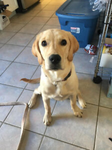 Finding a new home for an 6-month yellow labrador
