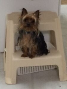 Looking to trade a 16 month old Yorkie female Strathcona County Edmonton Area image 1