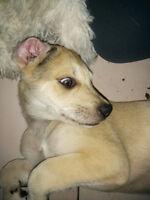 Gorgeous Great Dane x Puppies