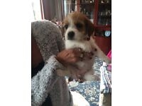 Puppy Shitszu X jack Russell for sale