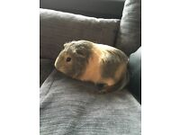 Guinea Pig - Male Grey