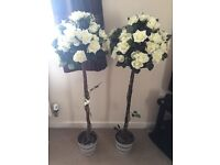 Cream rose bay trees ideal for wedding