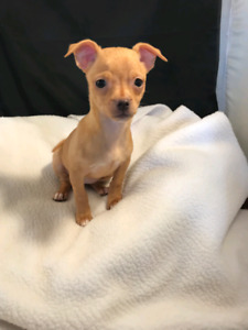 CHIHUAHUA PUP FEMALE,  READY NOW
