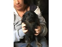 Chihuahua,black long haired male.