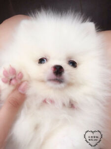 Pure Europe White Mini Male Pomeranian Puppy for Sale