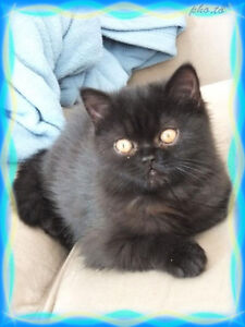 Exotic Shorthair Male with Purrsonality!