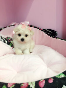 Very tiny Maltese puppies for sale