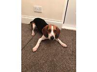 7 month old beagle boy