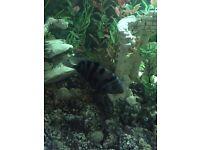 Chiclids fish